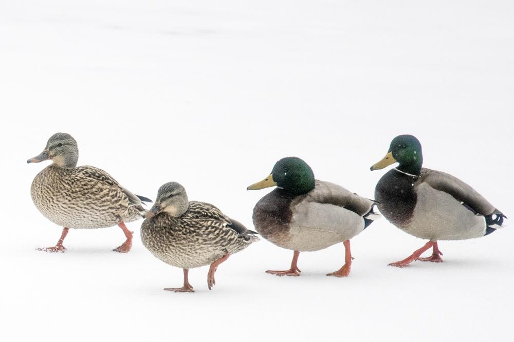 Mallard ducks on frozen Lake New Mark