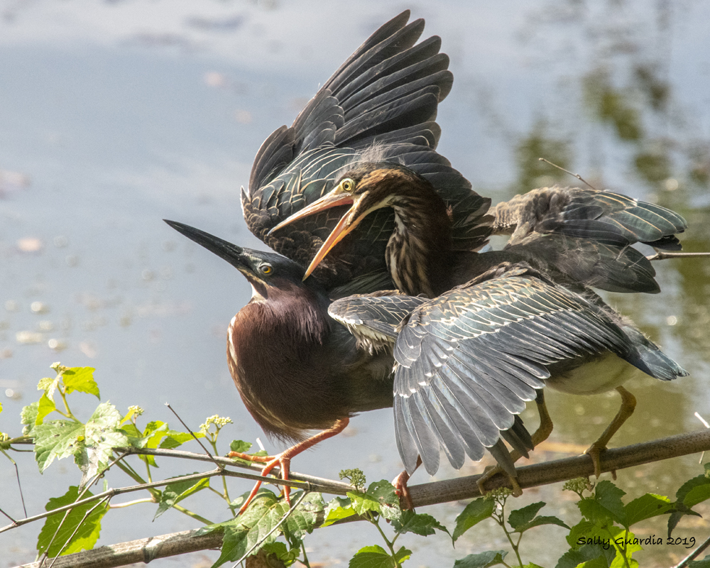 Feeding time for baby green heron