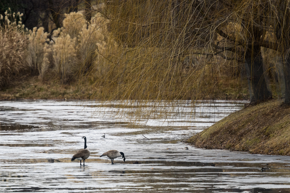 Canada Geese on Lake New Mark