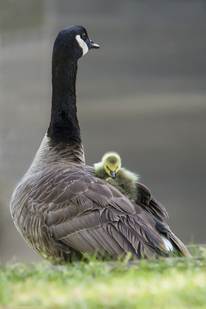 Canada Geese parent and chick