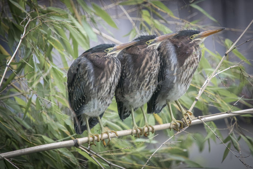 Green heron chicks trio