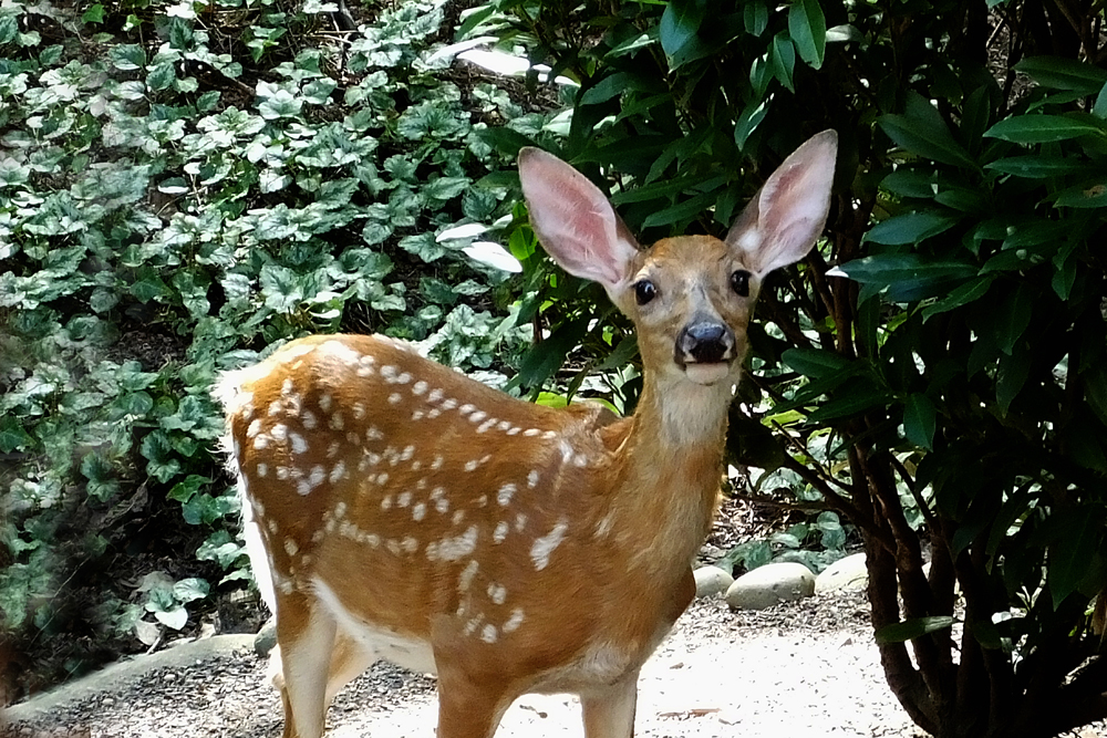 Fawn at the door!