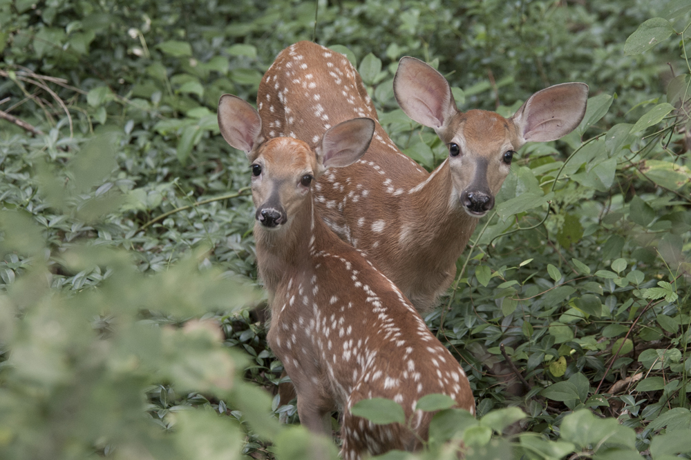 Fawns in the woods