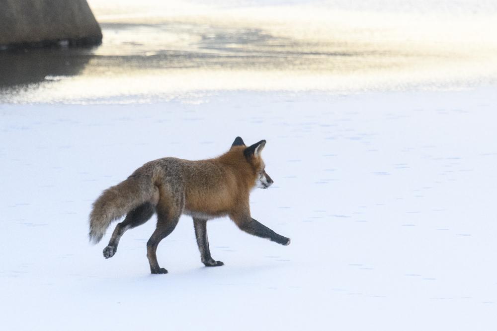 Fox on Lake New Mark