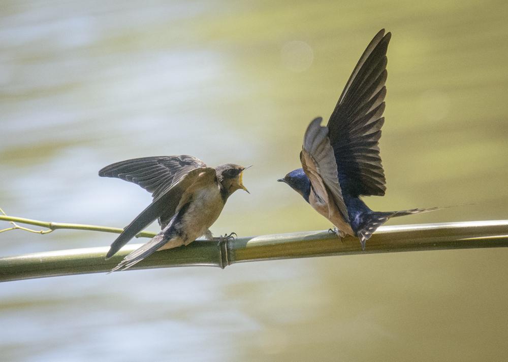 Swallows feeding time