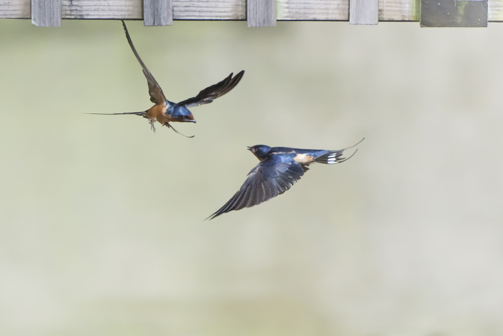 Barn Swallows under lakeside townhome balcony